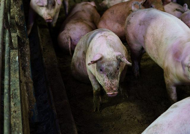 Tarja Koskela: Syyttämättäjättämispäätös – viesti eläinten kaltoinkohtelun hyväksyttävyydestä?