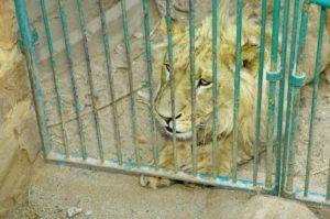 ammuttavaksi kasvatettu leijona kaltereiden takana